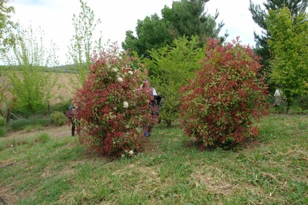 jardin-del-rosario-photinia-x-fraseri-pink-marble-029