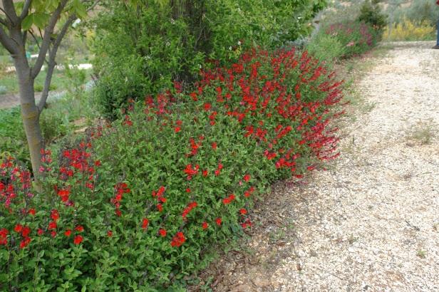 jardin-del-rosario-salvia-microphylla-spp-051