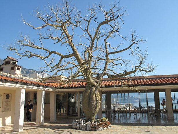 jardin-exotique-de-monaco-chorisia_monaco