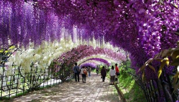 kawachi-fuji-garden-kitakyushu-japan-wisteria-tunel-de-glicinas-en-flor