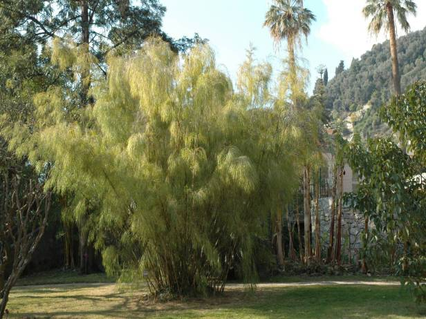 menton-val-rahmeh-otaea-acuminata-bambu-pendula-de-mexico