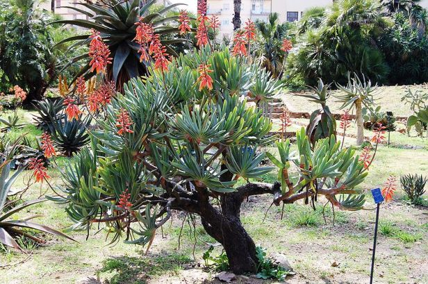 orto-botanico-di-palermoaloe_plicatilis-3