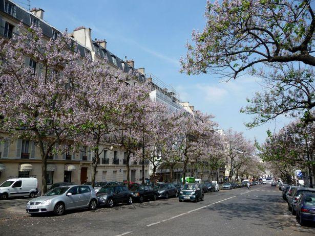 paris-paulownia-tomentosa-en-pleine-floraison-avenue-carnot-paris-17e