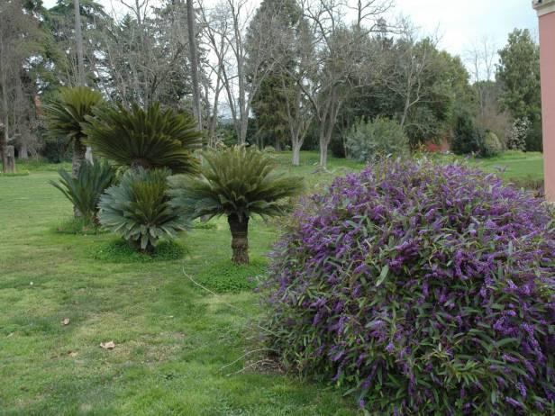 portugal-elvas-quinta-da-espanhola-hardenbergia-violacea-y-cycas