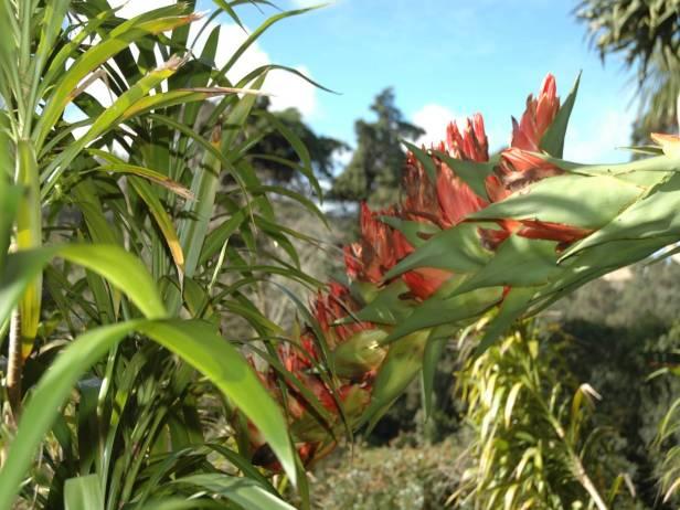 quinta-da-montserrate-doryanthes-excelsa-flor