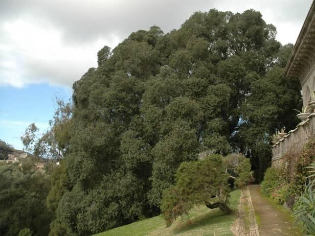 quinta-da-montserrate-metrosideros-excelsus-arbol-del-hierro
