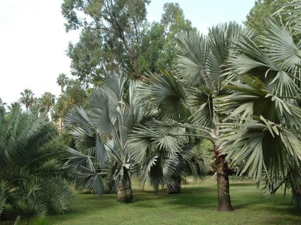 Del viaje a los jardines de sicilia orto bot nico de for Amapola jardin de infantes palermo