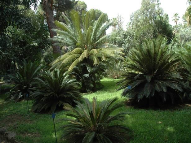 sicilia-orto-botanico-di-palermo-cyca-circinalis