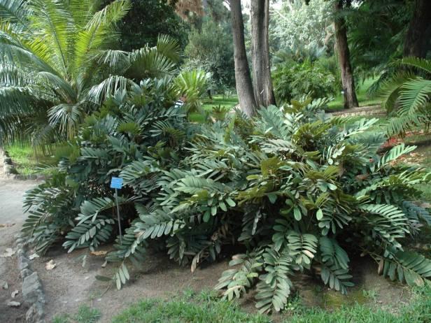 sicilia-orto-botanico-di-palermo-zamia-furfuracea