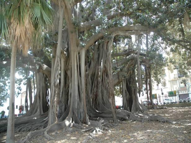 sicilia-parque-garibaldi-ficus-macrophylla