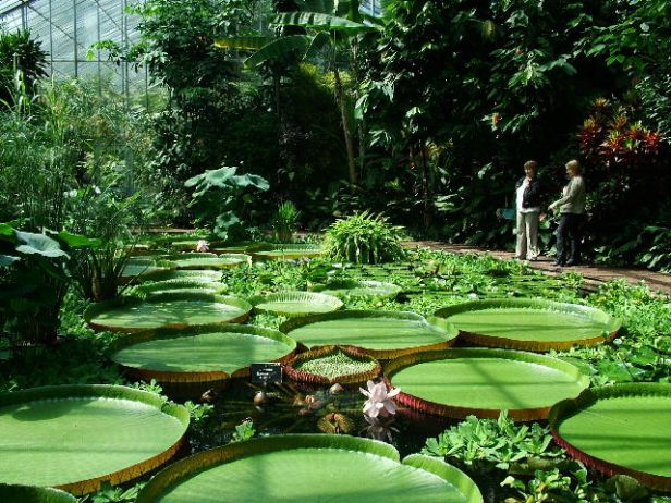 the-royal-botanic-edinburgh-victoria-amazonica