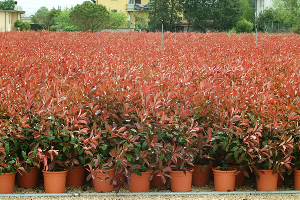 viveros-photinia_in_coltivazione_big