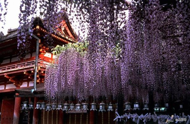 wisterias-en-santuario-kasuga-taisha-nara