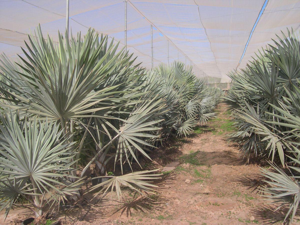 La calidad en las plantaciones de arboles urbanos