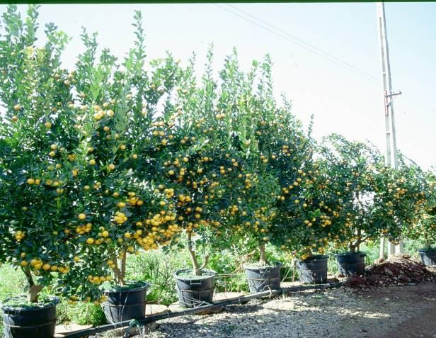 citrofortunella-x-mitis-viveros-floral