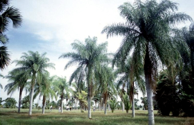 cuba-la-habana-jardin-botanico-acrocomia-pilosa-z