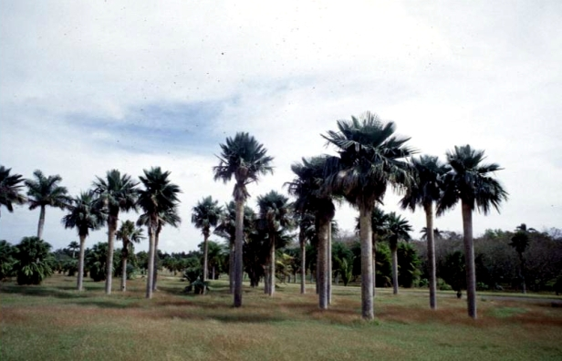 cuba-la-habana-jardin-botanico-copernicia-bayleyana