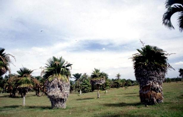 cuba-la-habana-jardin-botanico-copernicia-macroglossa