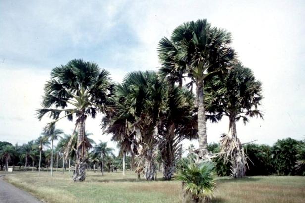 cuba-la-habana-jardin-botanico-corypha-umbraculufera