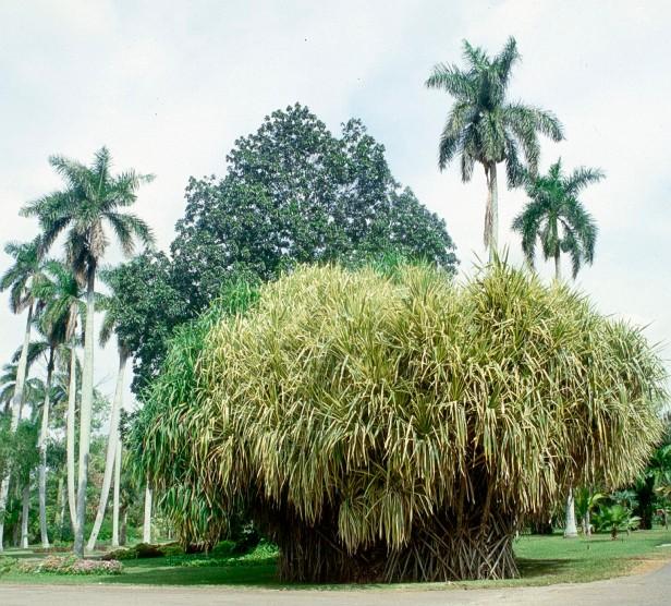 cuba-la-habana-pandanus-veitchi-variegata