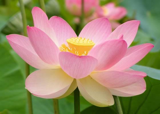 historia-loto-de-color-rosa