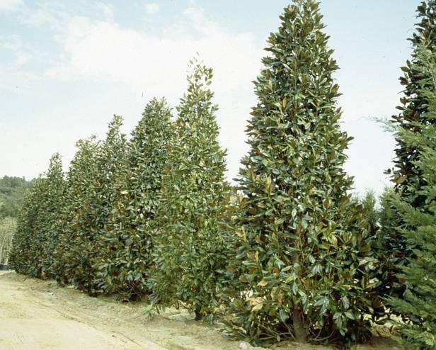magnolia-grandiflora-gallisonensis-v
