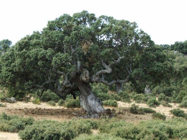 med-bosque-mediterraneo-quercus_rotundifolia1