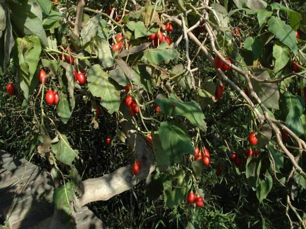 med-jardin-exotico-de-val-rhameh-menton-costa-azul-cyphomandra-betacea