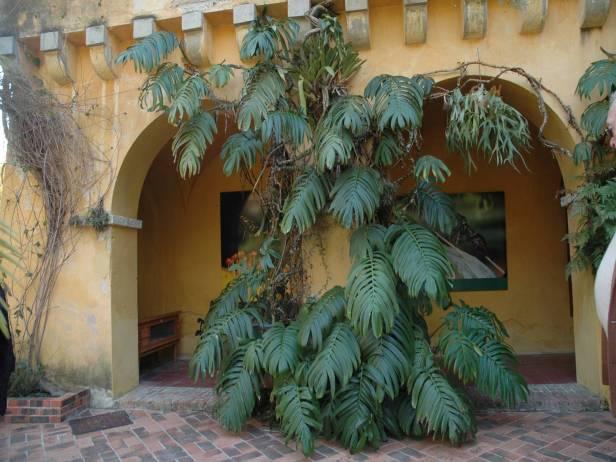 med-jardin-exotico-de-val-rhameh-menton-costa-azul-raphidophora-decursiva