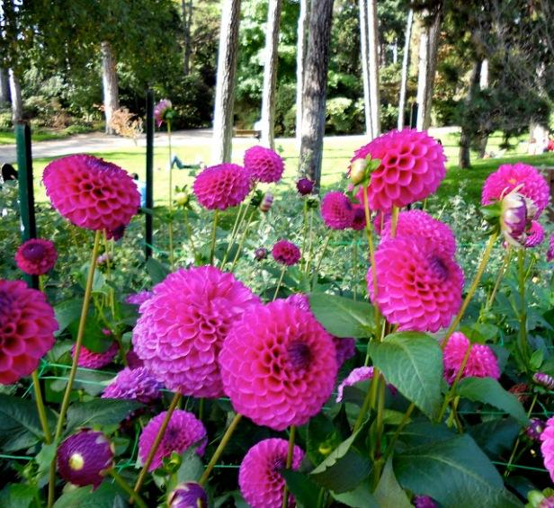 parc-floral-bois-de-vicennes-dhalias-n