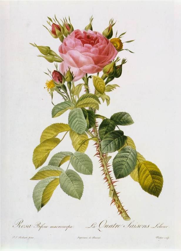 pierre-joseph-redoute-rosa-bifera-macrocarpa