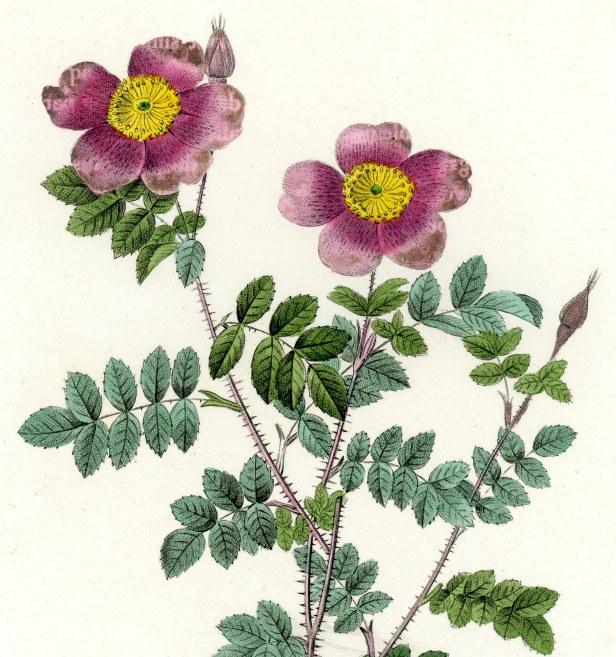 redoute-le-rosa-pimpinella