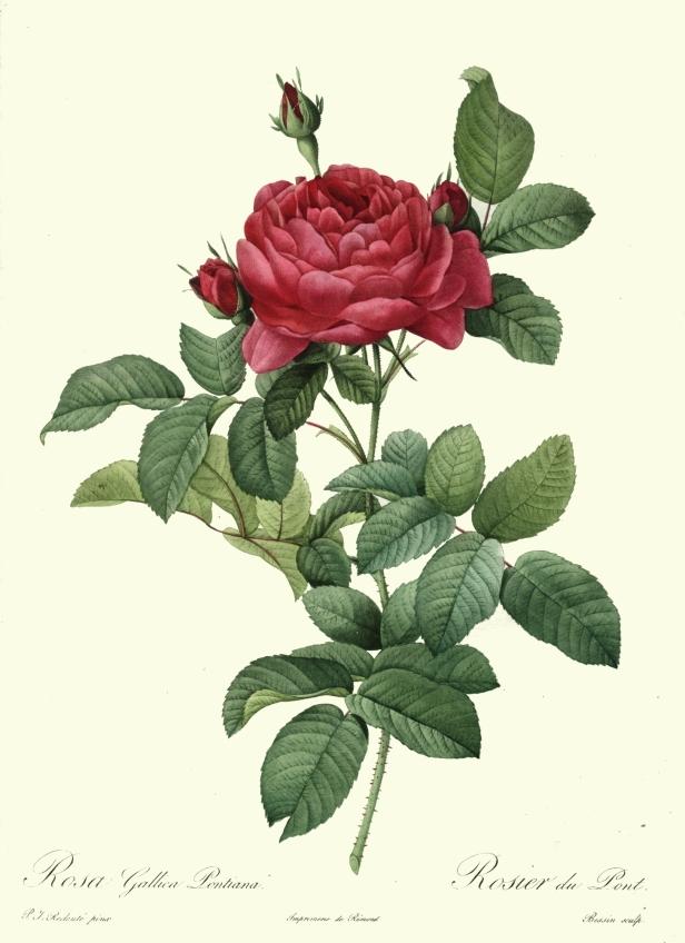 redoute_-_rosa_gallica_pontiana-x