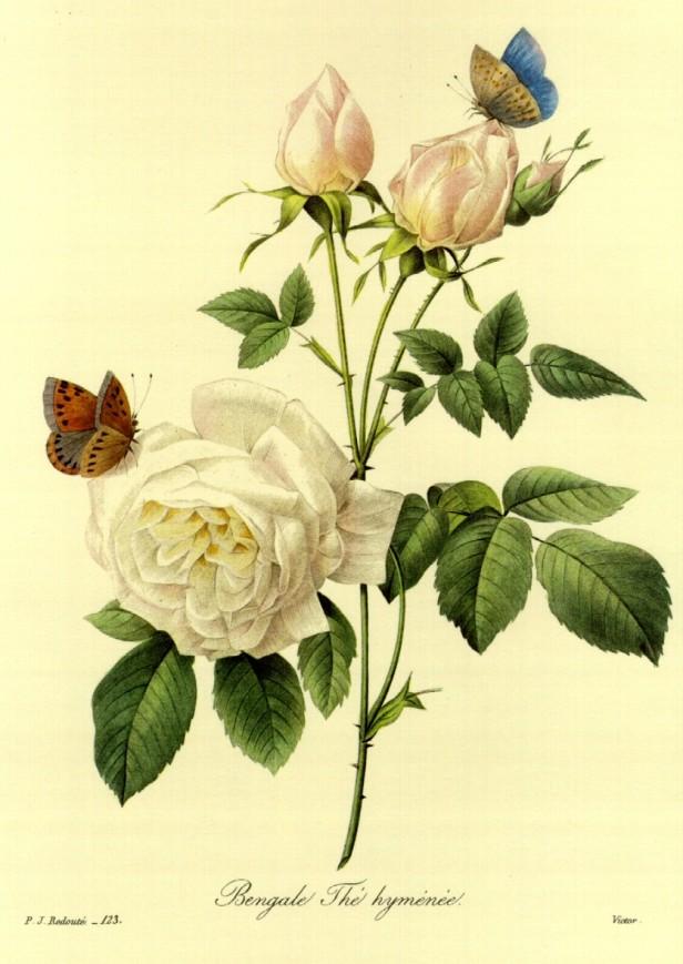 rosa-bengala