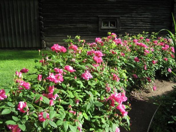 rosa-gallica-officinalis-2
