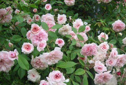 rosas-cecil-b-de-bruner