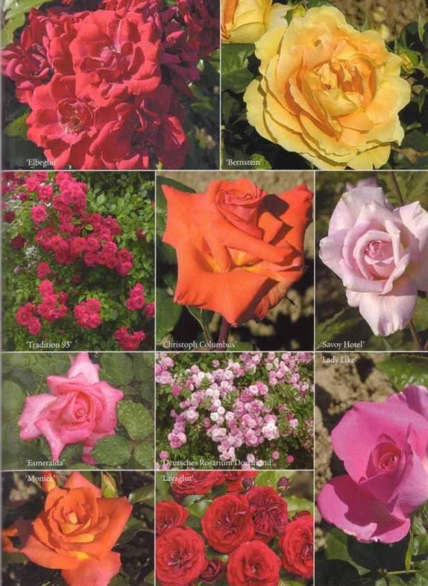 rosas-colage