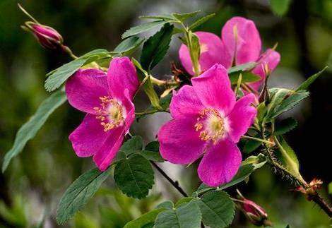 rosas-rosa-acicularis-a