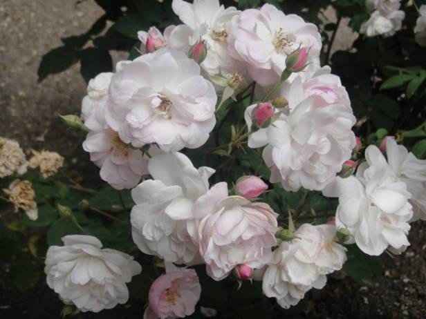 rosas-rosa-blush-noisette