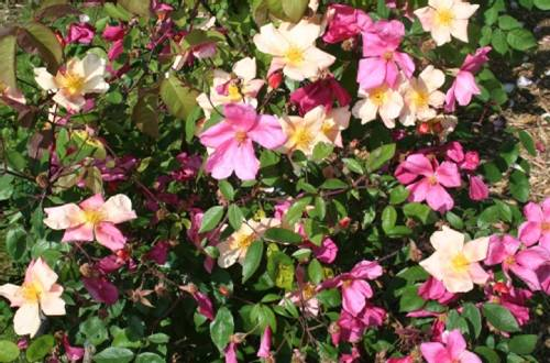 rosas-rosa-chinensis-mutabilis-a
