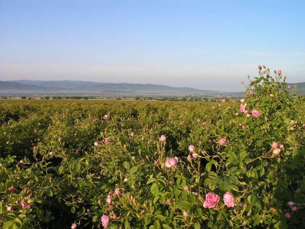 rosas-rosa-damascena-cultivo