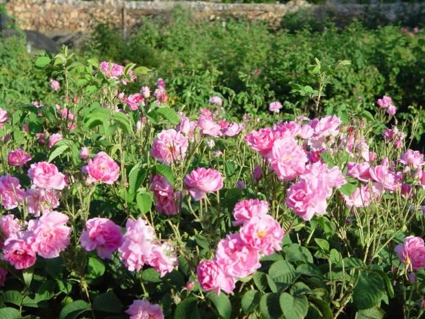 rosas-rosa-damascena