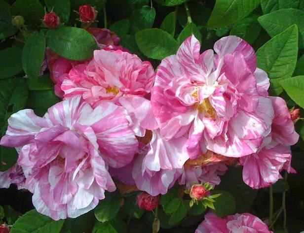 rosas-rosa-gallica-versicolor