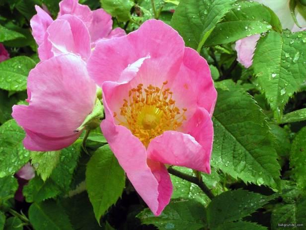 rosas-rosa-gallica
