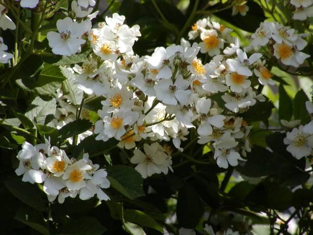 rosas-rosa-multiflora