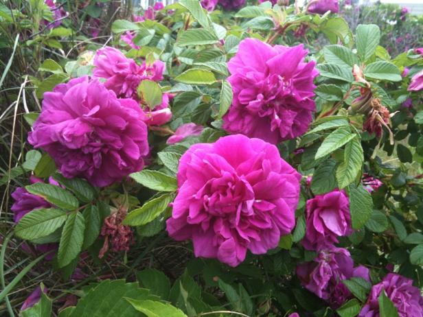 rosas-rosa-rugosa