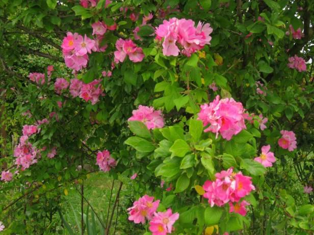 rosas-rosa-setigera-a