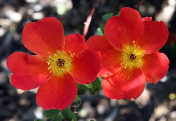 rosas-rosafoetida-bicolor-a
