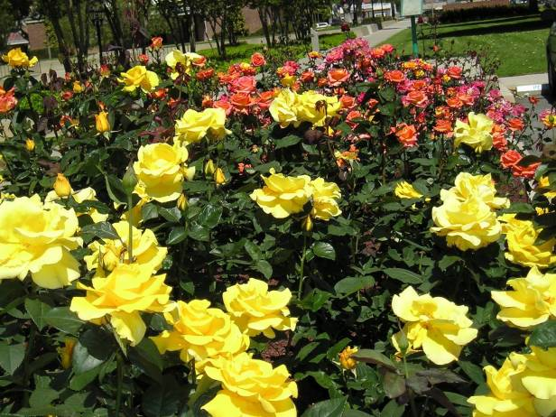 rosas-yellow-pink