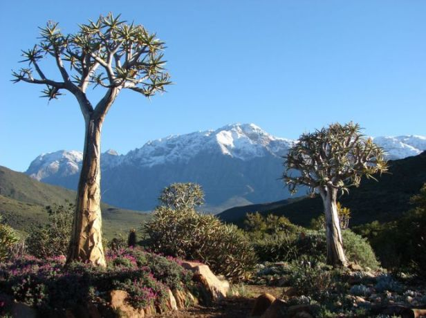 afr-karoo-desert-national-botanical-garden-aloe-dichotoma